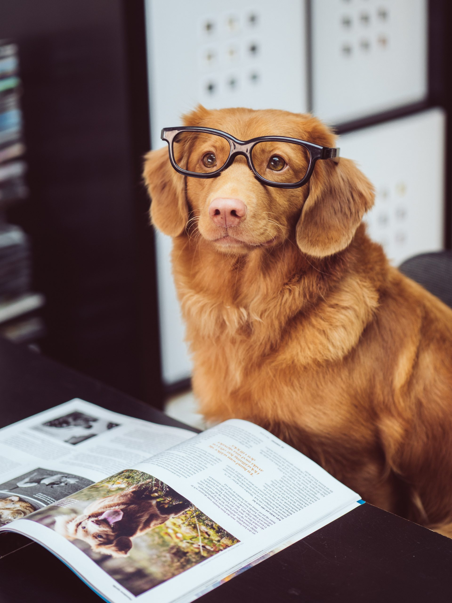 brown dog wearing glasses reading a magazine